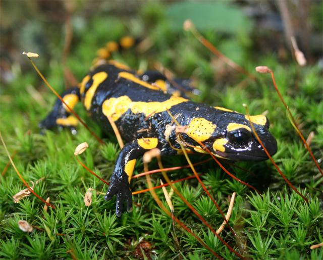 salamandra-skvrnita-2008-2.jpg