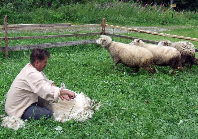 strihanie-oviec-kysuce-2009.jpg