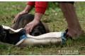 m-trauer-a-belgicky-ovciak-2012-2.jpg