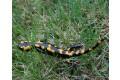 salamandra-skvrnita-2008-11.jpg