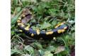 salamandra-skvrnita-2008-13.jpg
