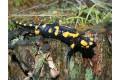 salamandra-skvrnita-2008-5.jpg