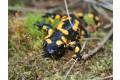 salamandra-skvrnita-2008-6.jpg