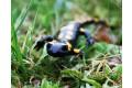 salamandra-skvrnita-2008-9.jpg