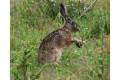 zajac-polny-lepus-europaeus-sh08-1.jpg