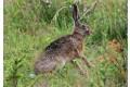 zajac-polny-lepus-europaeus-sh08-10.jpg