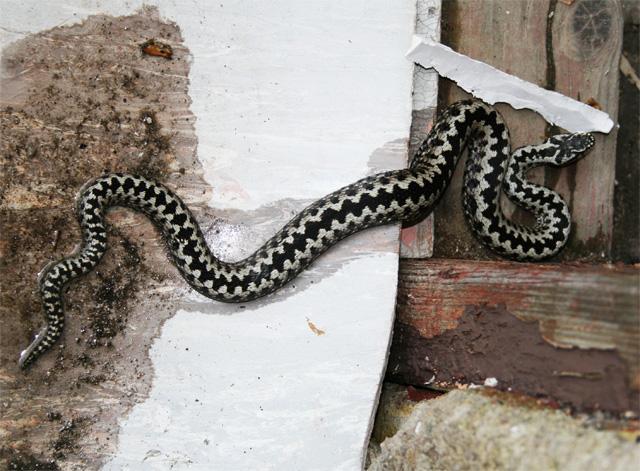vretenica-obycajna-08-3.jpg