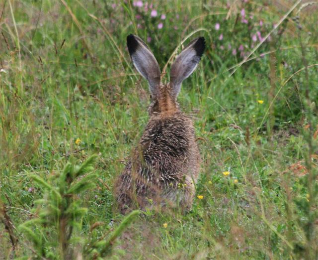 zajac-polny-lepus-europaeus-sh08-12.jpg