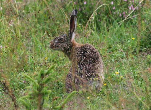 zajac-polny-lepus-europaeus-sh08-13.jpg
