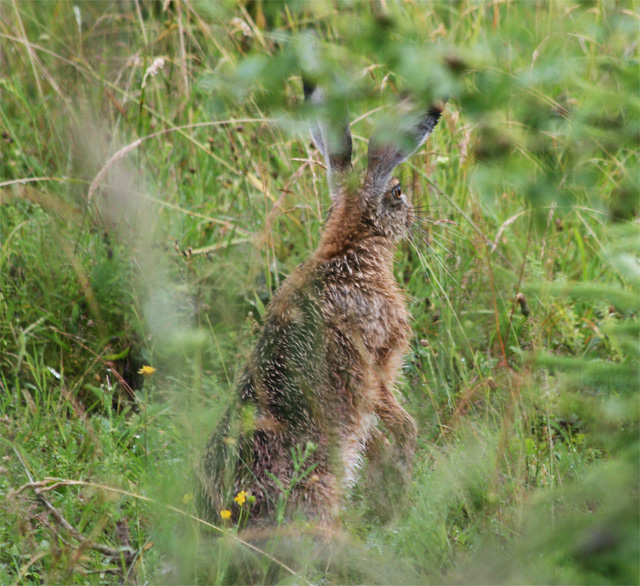 zajac-polny-lepus-europaeus-sh08-14.jpg