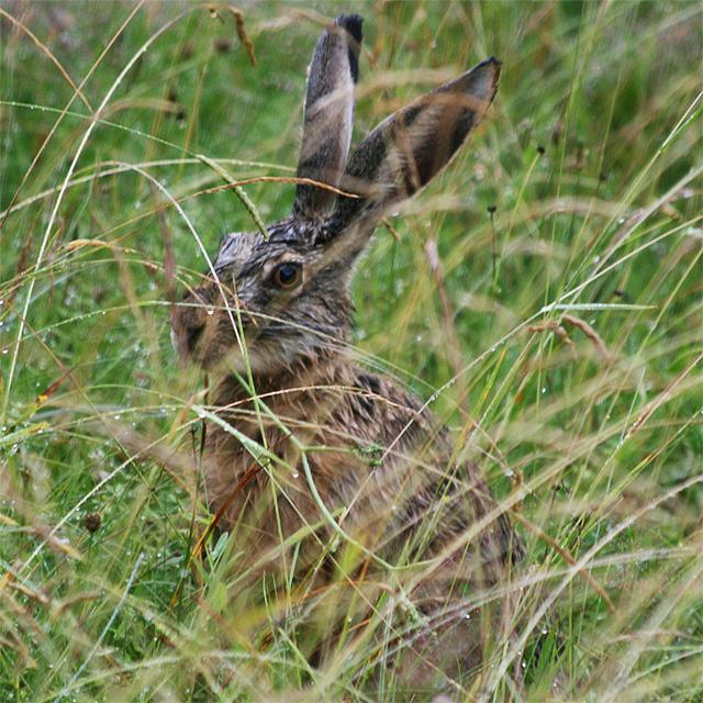 zajac-polny-lepus-europaeus-sh08-15.jpg
