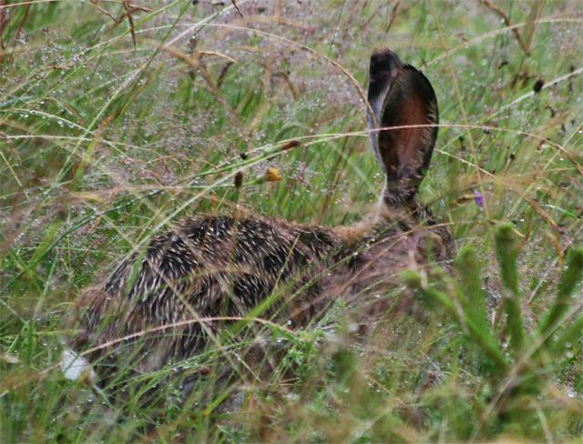 zajac-polny-lepus-europaeus-sh08-16.jpg