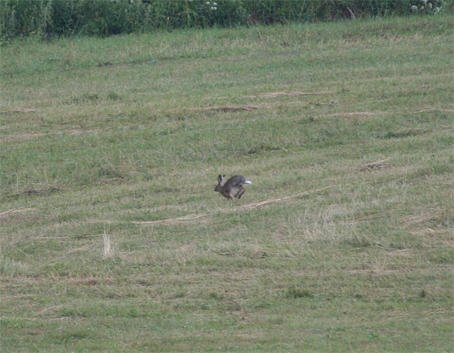zajac-polny-lepus-europaeus-sh08-2.jpg