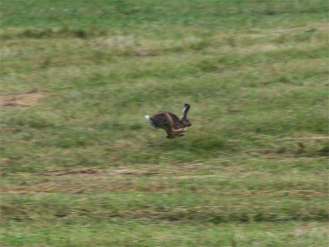 zajac-polny-lepus-europaeus-sh08-4.jpg