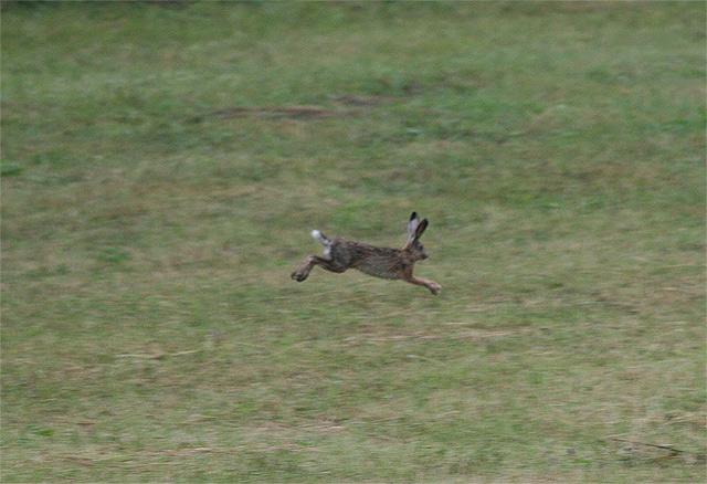zajac-polny-lepus-europaeus-sh08-5.jpg