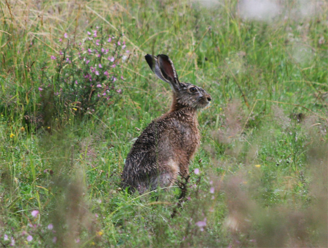 zajac-polny-lepus-europaeus-sh08-7.jpg