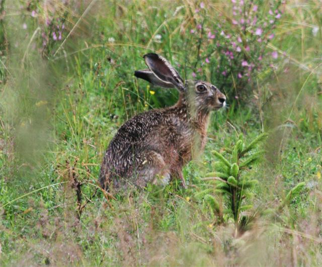 zajac-polny-lepus-europaeus-sh08-8.jpg
