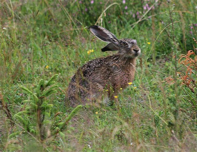 zajac-polny-lepus-europaeus-sh08-9.jpg
