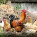 V Starej Bystrici potvrdili výskyt vtáčej chrípky