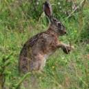 Zajac poľný - Lepus europaeus