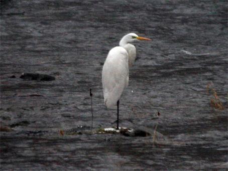 Volavka biela - Egretta alba